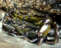Green shore crab couple